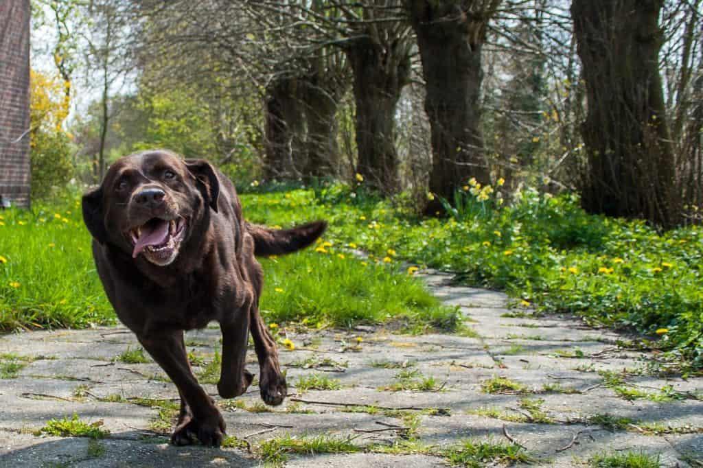 Labrador Retriever ohne Leine im Wald