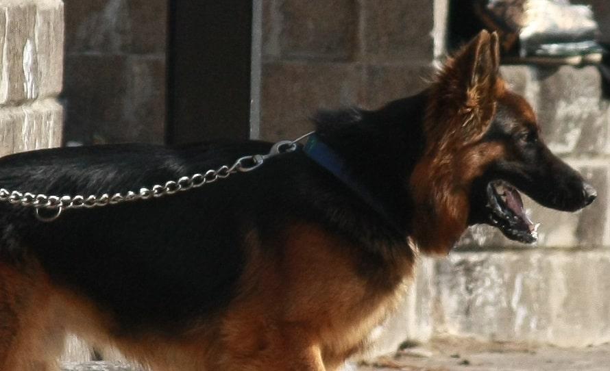 Schäferhund mit Leine aus Kette