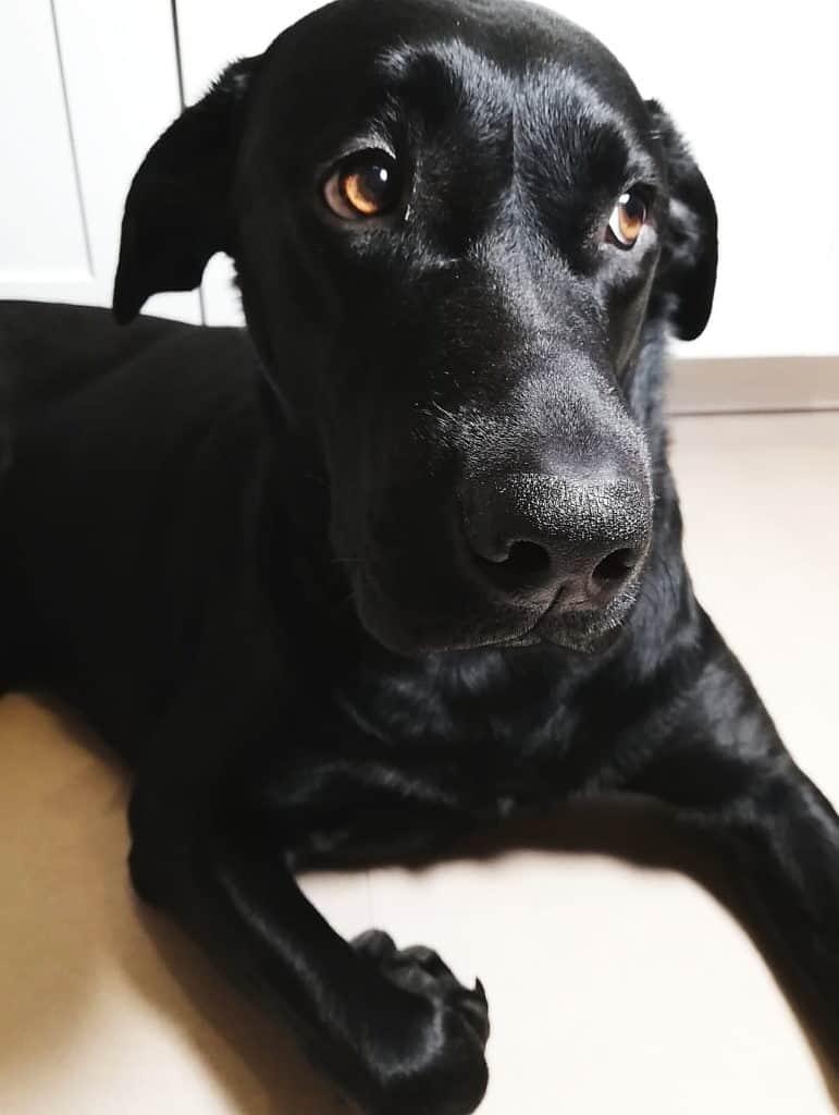 Labrador Retriever Amy wartet auf die leckeren Lebercookies