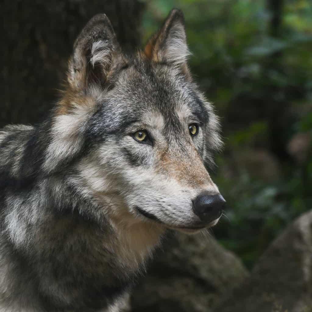 Der Wolf ist auch kein reiner Fleischfresser