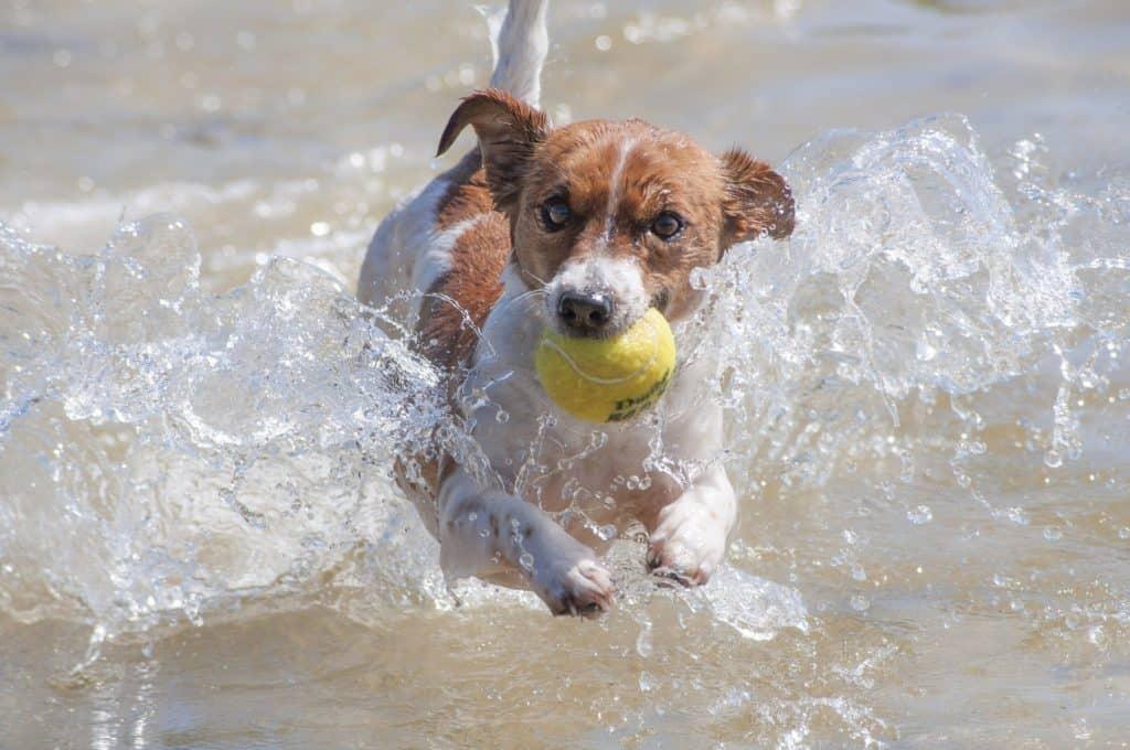Jack Russell Terrier mit Tennisball im Wasser