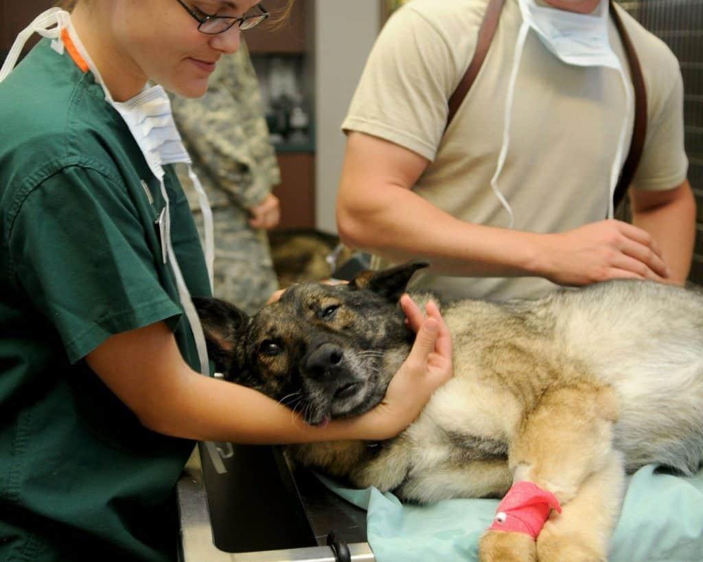 Schäferhund Operation - Versicherung