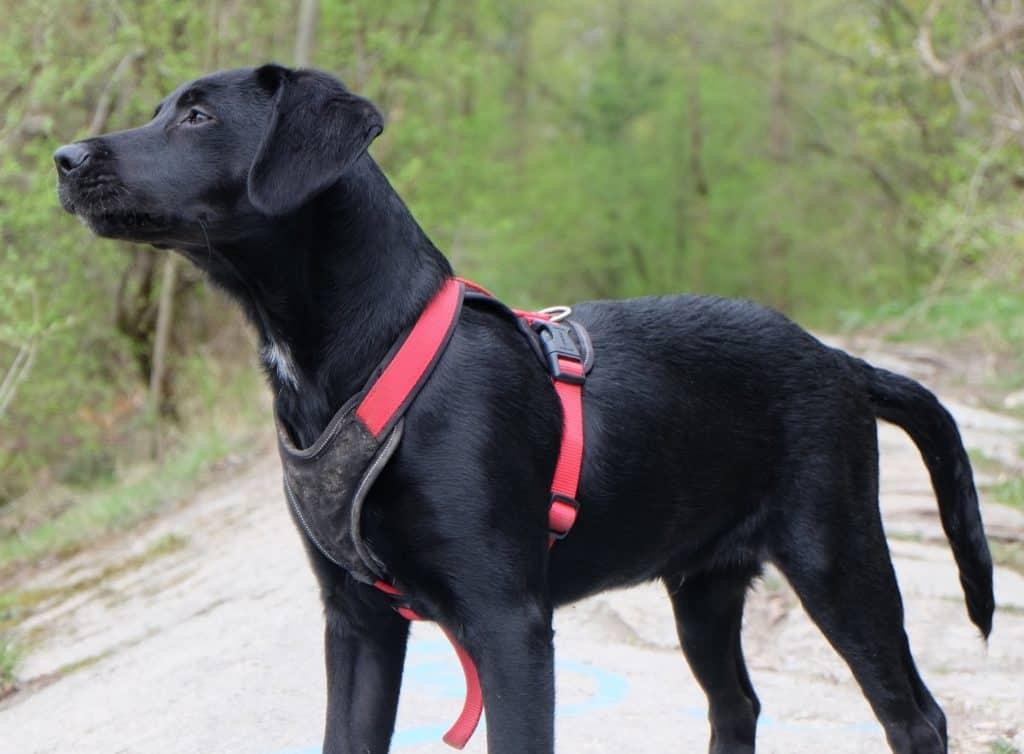 Labrador Retriever mit Brustgeschirr